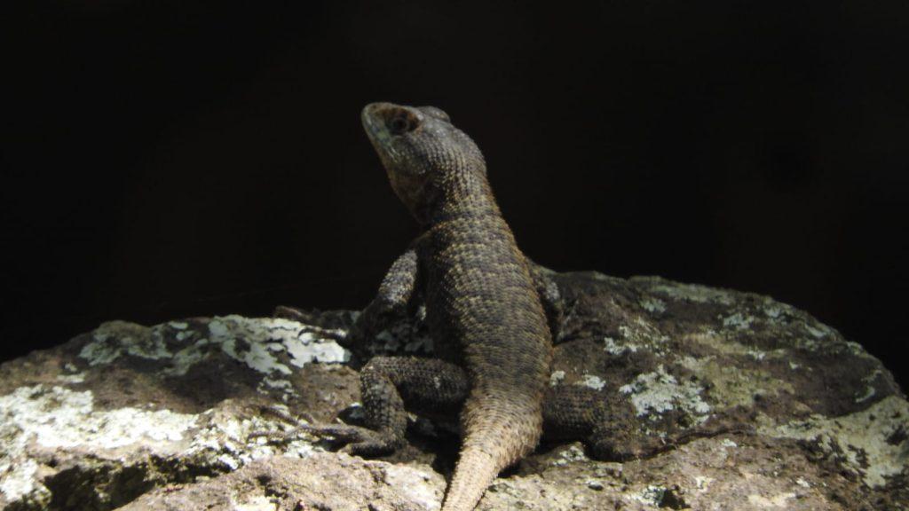 Tropidurus Torquatus
